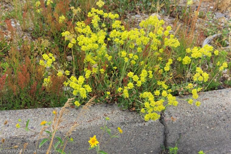 Grand-Teton-National-Park-yellow-flowers