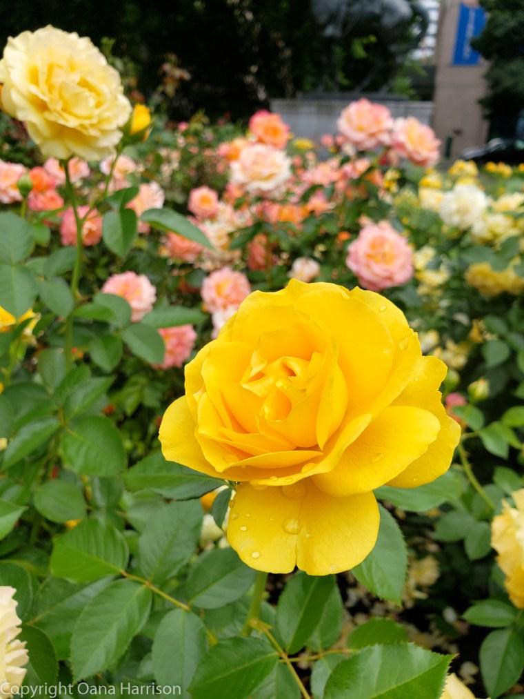 Oregon-Portland-Roses