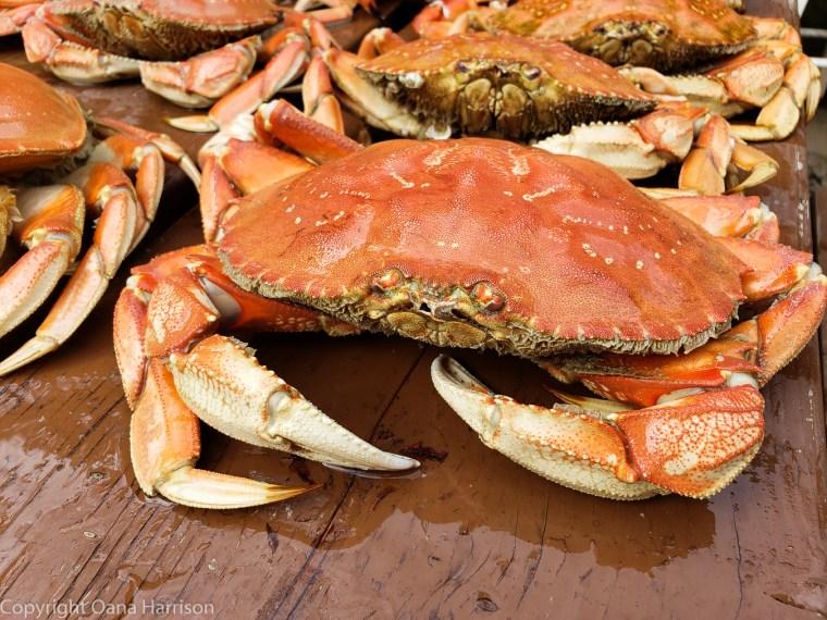 Netarts-Bay-OR-Crabbing-26-Dungeness-crab
