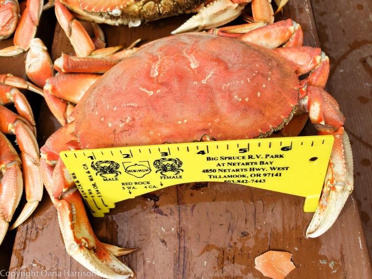 Netarts-Bay-OR-Crabbing-38-Dungeness-crab