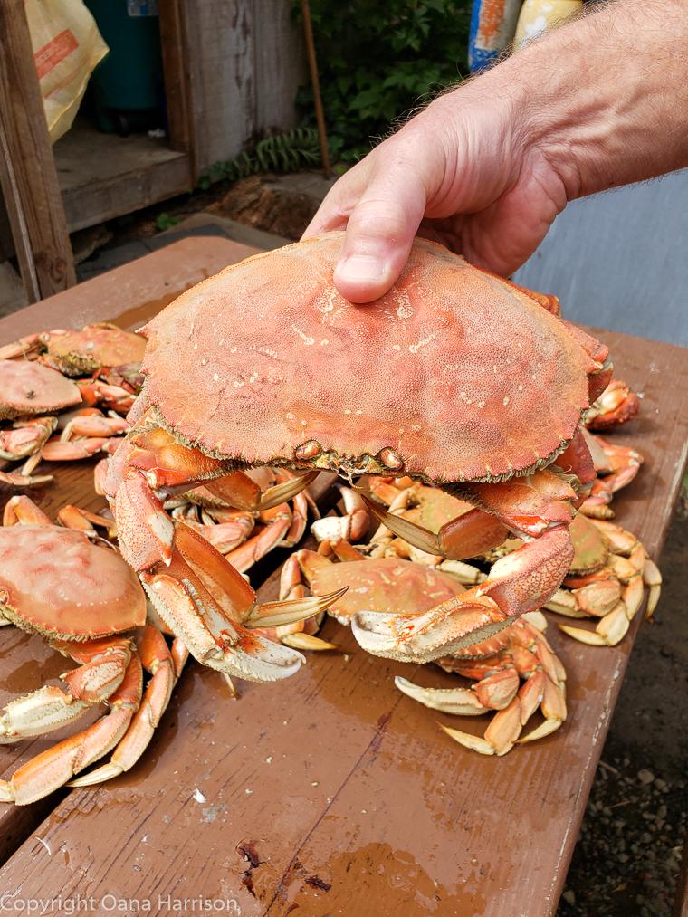 Netarts-Bay-OR-Crabbing-40-Dungeness-crab