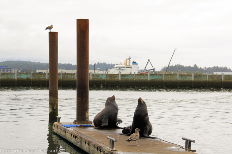 Newport-OR-sea-lions-and-seagull