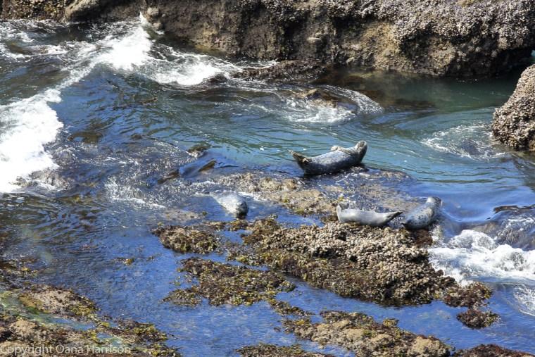 Yaquina-bay-sunbathing-sea-lions-OR-40