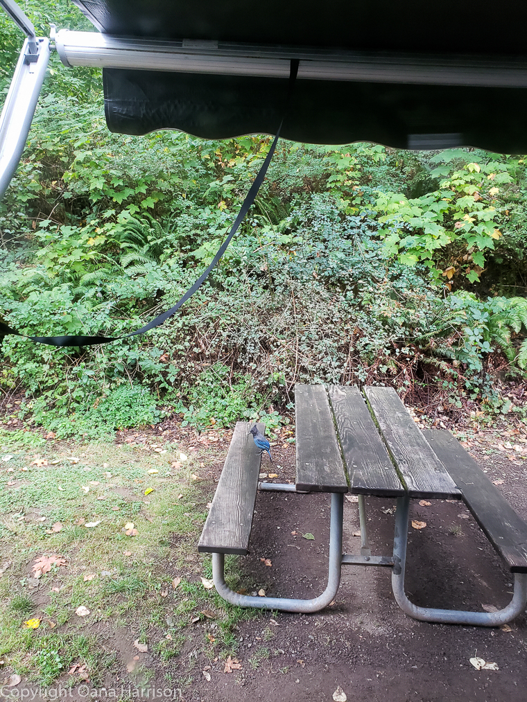 Ainsworth Park Blue Jay on picnic table