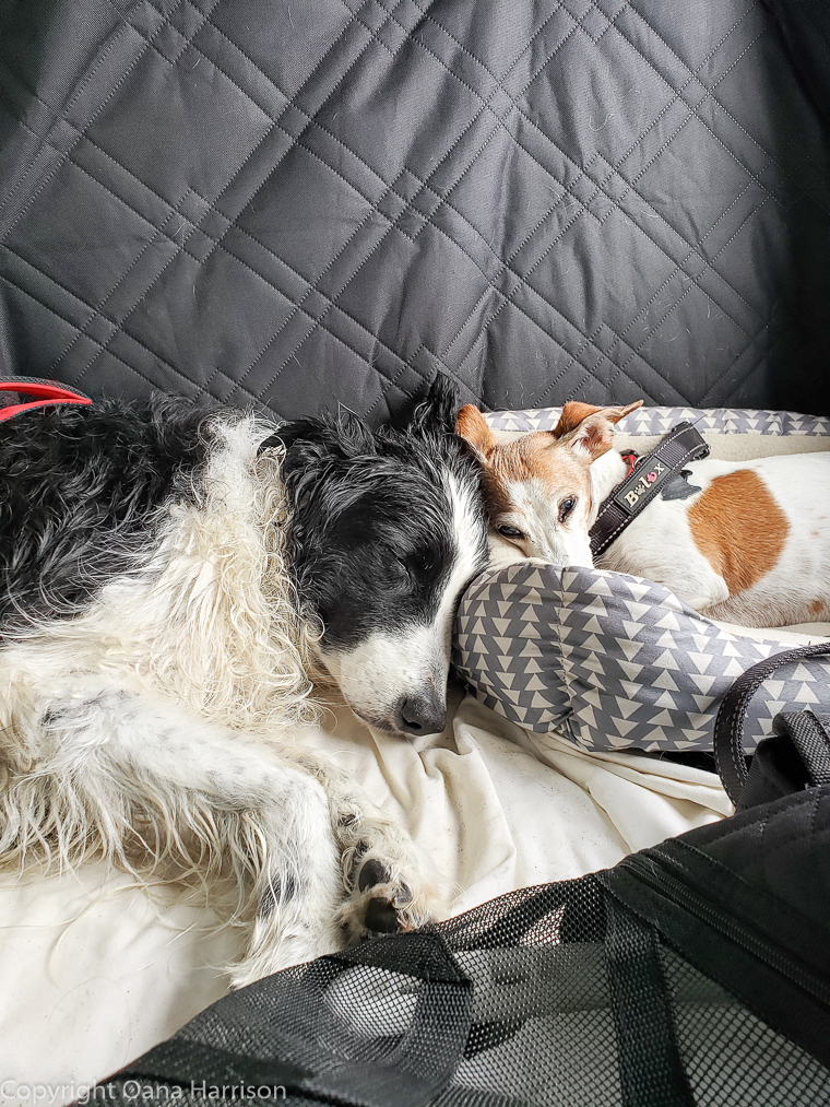 Dogs asleep in back seat of car