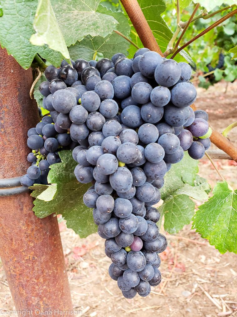 Eola Hills Legacy Winery Salem Oregon pinot noir grapes closeup