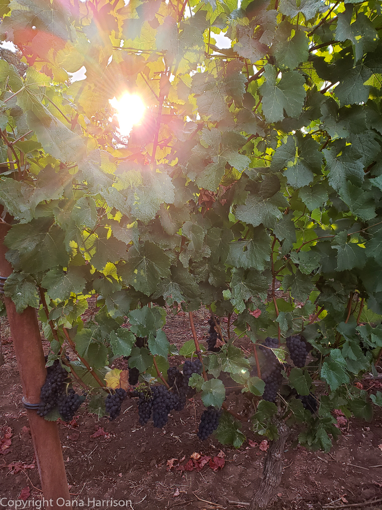 Eola Hills Legacy Winery Salem Oregon sunlight coming through grapevines