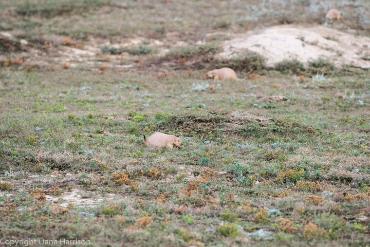 Teddy-Roosevelt-National-Park-ND-prairie-dogs