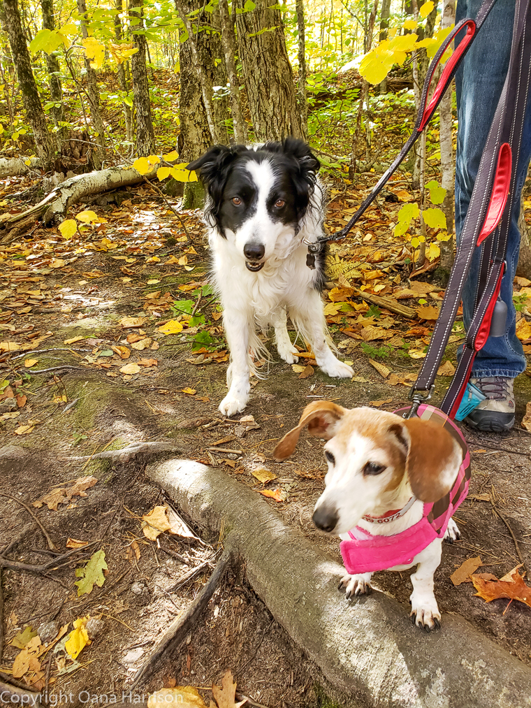 Two dogs in Lincoln forest