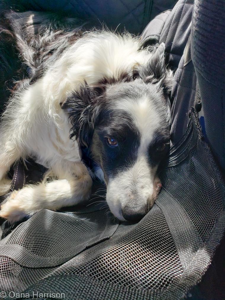 Marfa Texas tired Kylie dog
