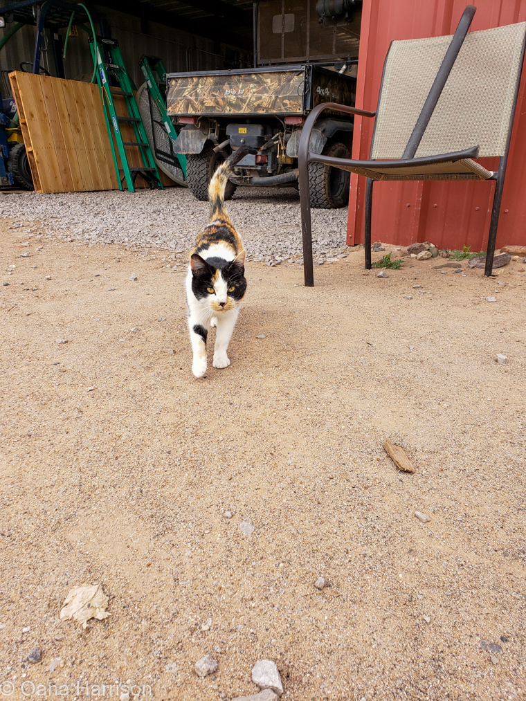 Calico cat, Sombra Antigua Winery, Anthony, Texas