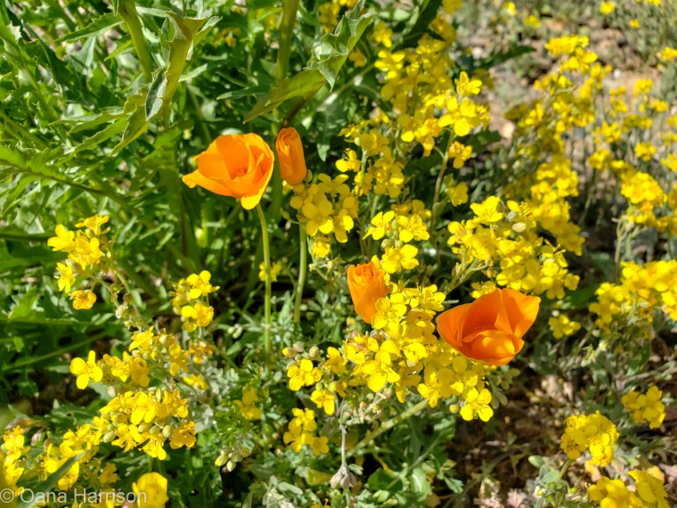 Spring flowers, Camp Verde, Arizona