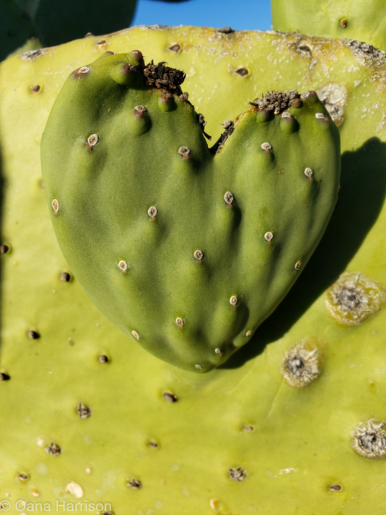 Las Colinas RV Park Eloy Arizona heart shaped cactus