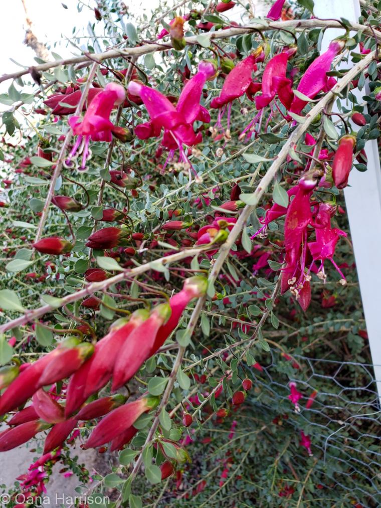 Cactus Country RV Park Arizona pink flowers