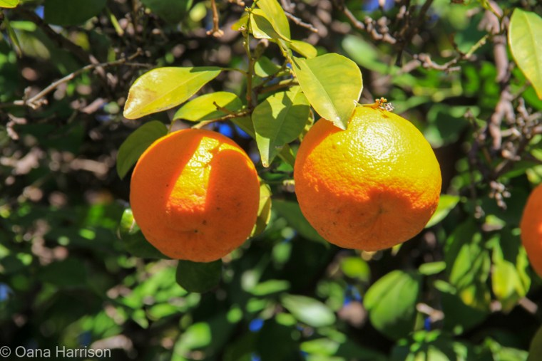 Tucson Arizona Old Town, oranges