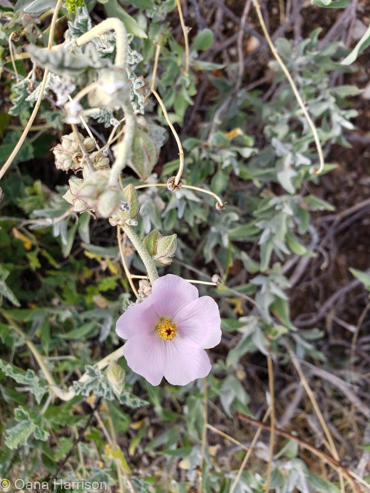 Saguaro West Arizona purple flower