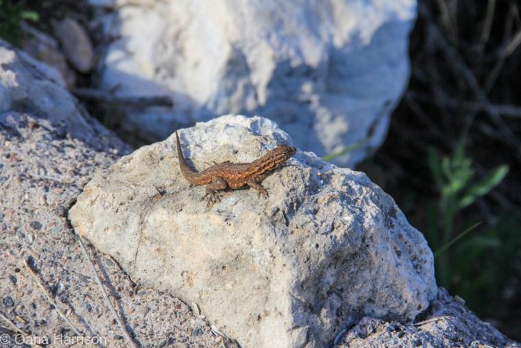 Lizard, Jerome, Arizona