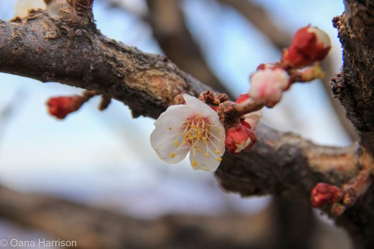 Flowering tree, Jerome, Arizona