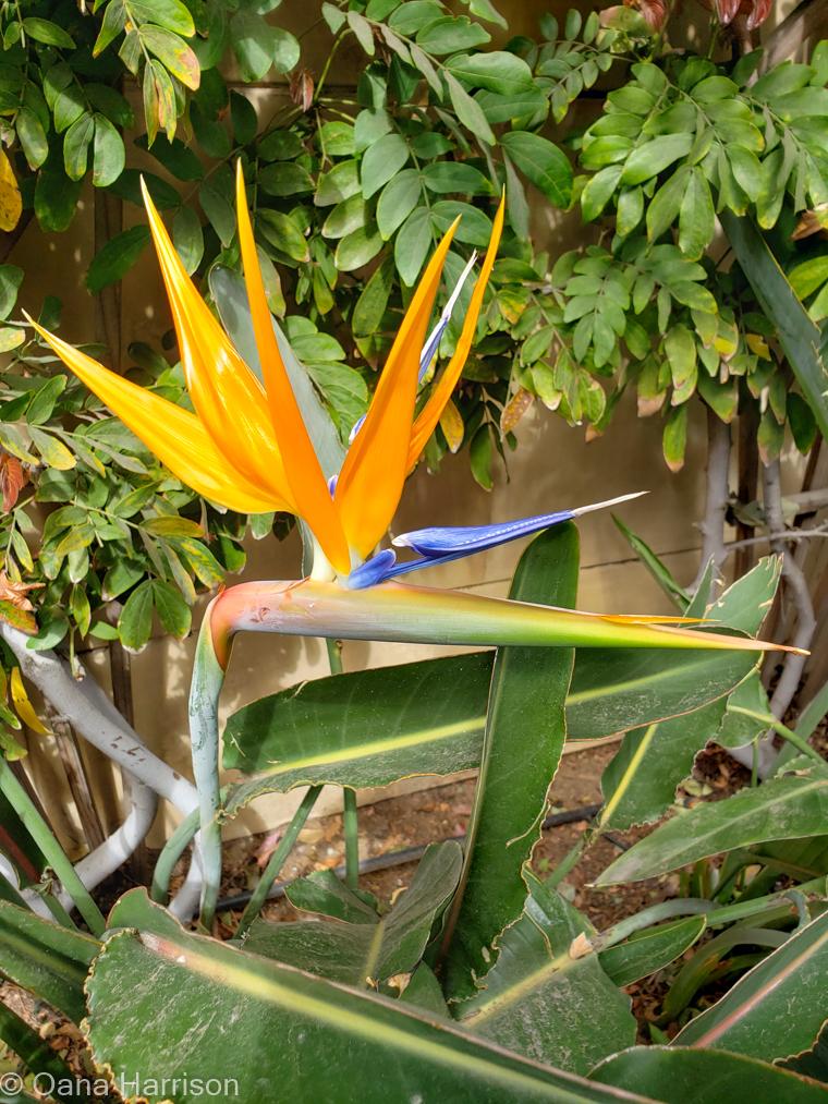 San Diego, California, bird of paradise flower