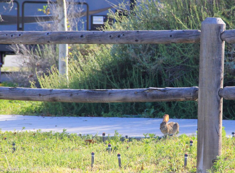 San Diego, California, Sweetwater County Park, bunny