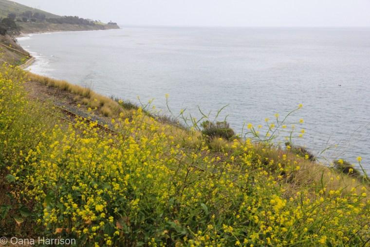 Santa Barbara, California, the coast and yellow flowers; black mustard flowers