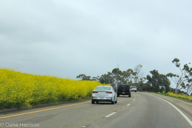 Santa Barbara, California, drive by black mustard flowers