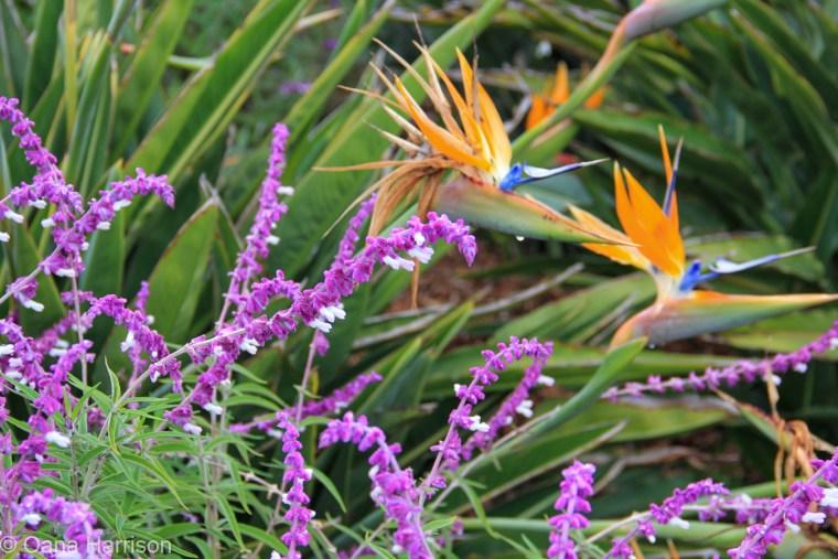 Santa Barbara, California, purple flowers and birds of paradise