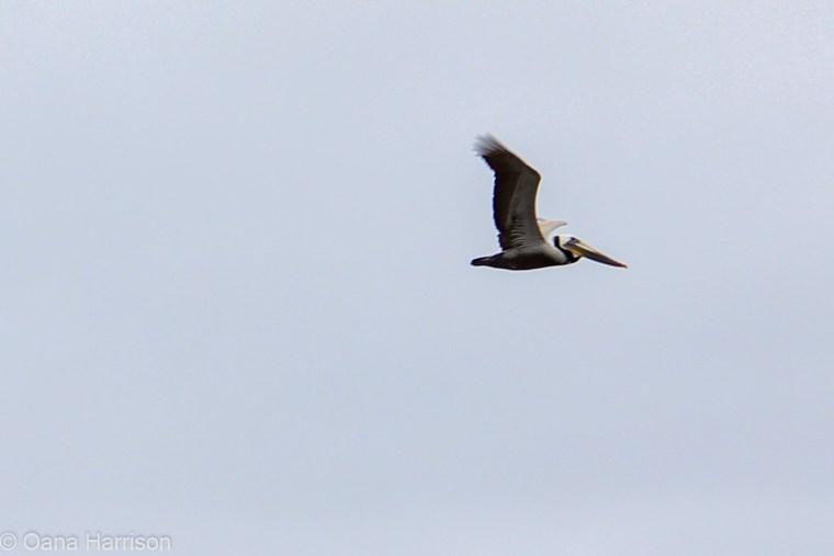Santa Barbara, California, pelican
