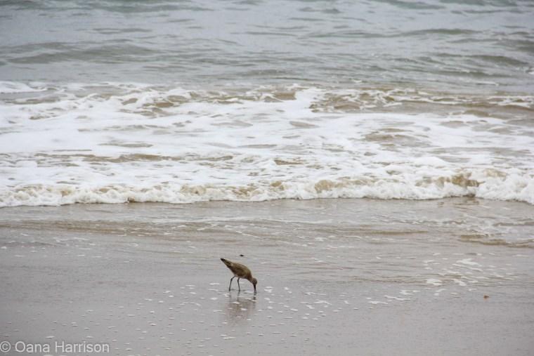 Santa Barbara, California, sand piper