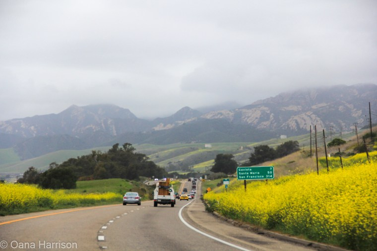 Santa Barbara, California, drive through the hills, black mustard flowers