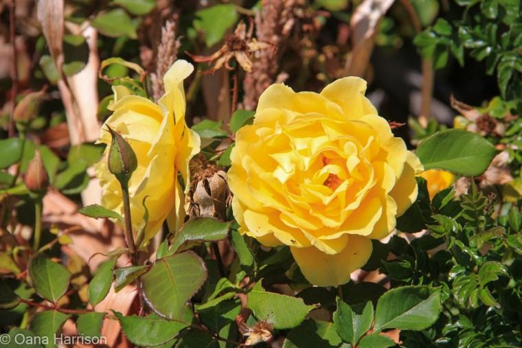 Sky Valley Desert Hot Springs CA, yellow rose