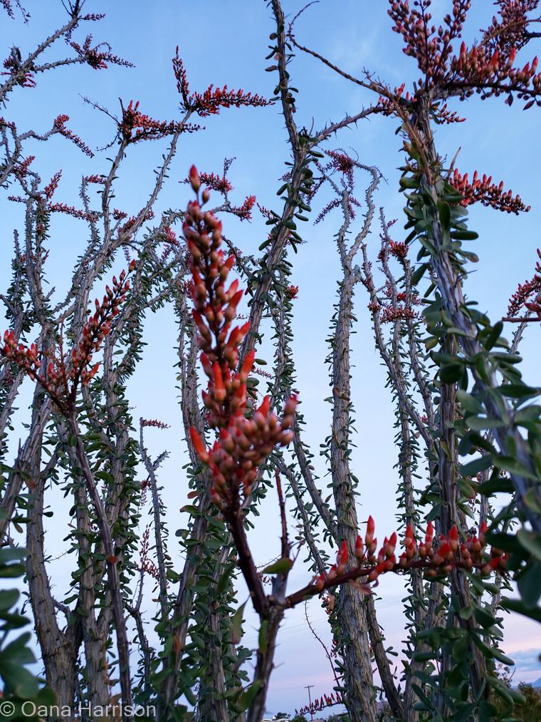 Sky Valley Desert Hot Springs CA, ocotillo