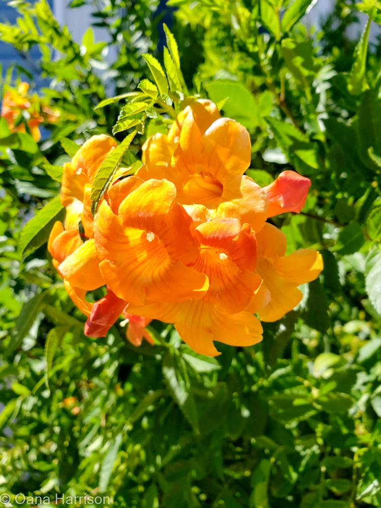 Sky Valley Desert Hot Springs CA, orange trumpet flower