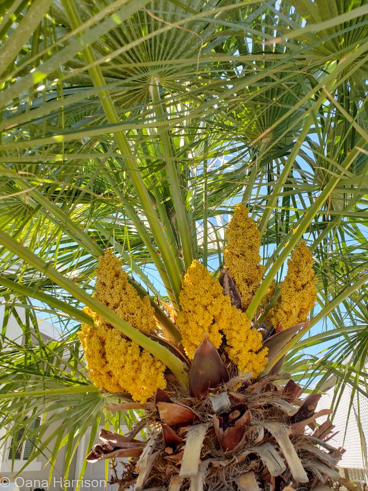Sky Valley Desert Hot Springs CA, palm tree