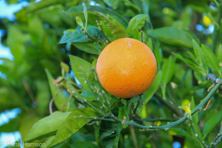 Sky Valley Desert Hot Springs CA, orange fruit