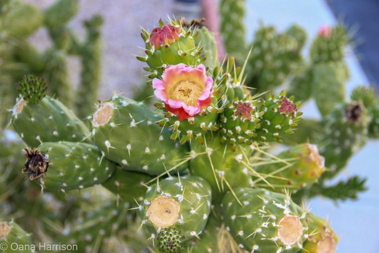 Sky Valley Desert Hot Springs CA, cactus bloom