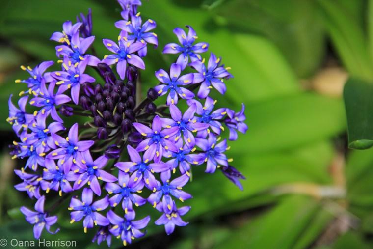 Sky Valley Desert Hot Springs CA, purple scilla flower