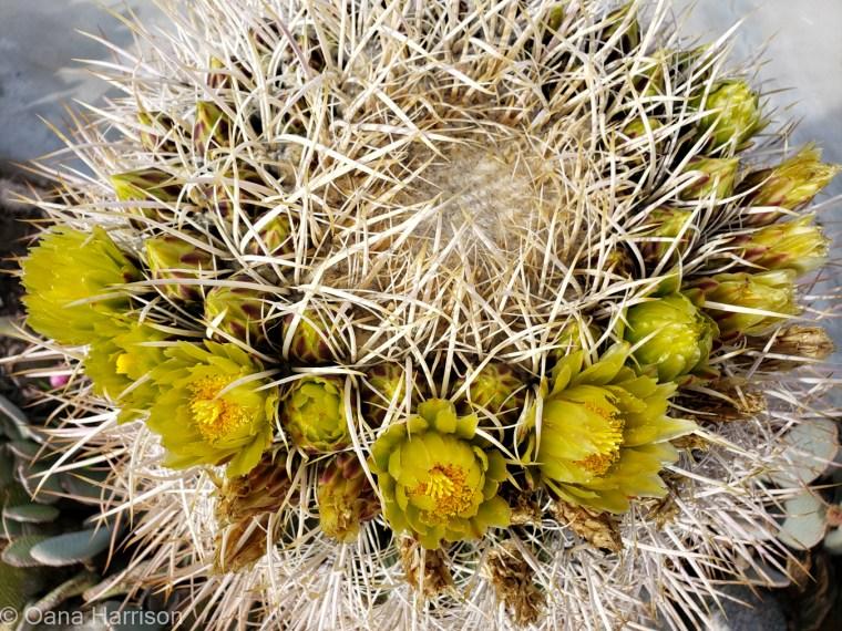 Sky Valley Desert Hot Springs CA, yellow cactus flowers