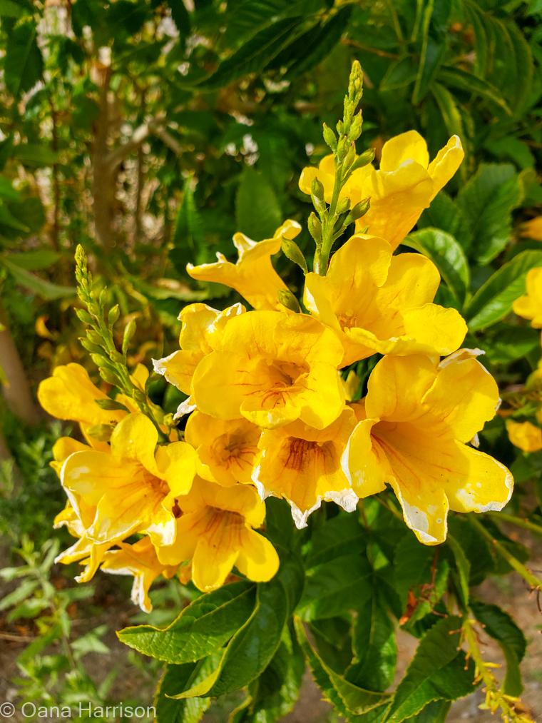 Sky Valley Desert Hot Springs CA, yellow trumpet vine