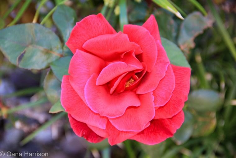 Sky Valley Desert Hot Springs CA, red rose