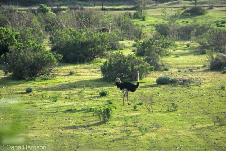 Solvang California, ostrich