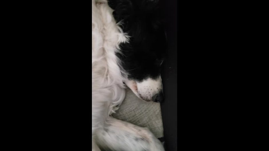 Kylie dog, sleeping and twitching