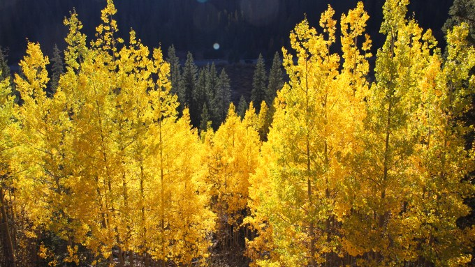 Colorado Gold - aspens in the fall