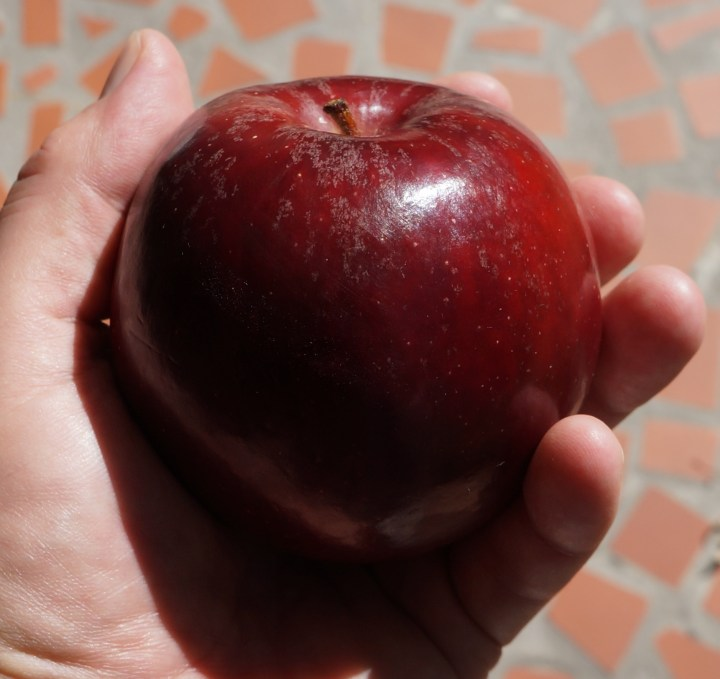 In sunlight, the apple has a garnet-black color - it is the darkest colored apple I have ever seen.