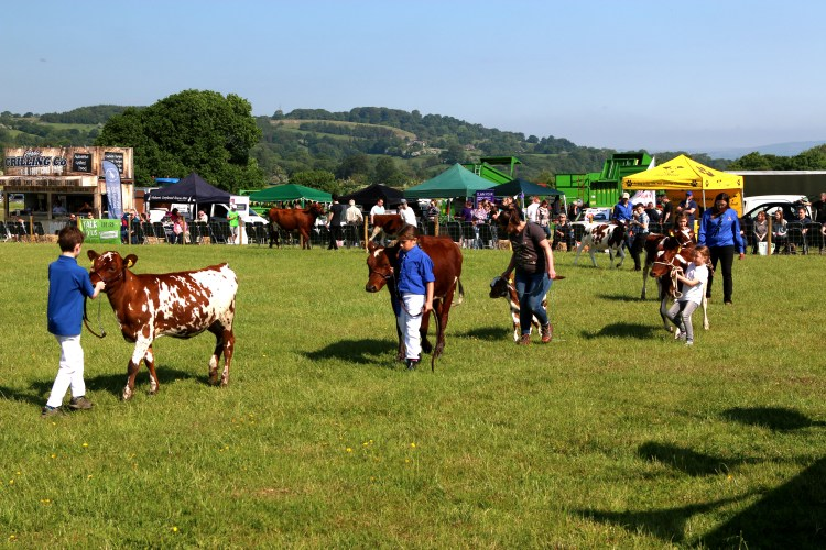 Young Cattle Display