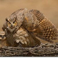 Great Horned Owl Adaptations – Structural and Behavioral Adaptations
