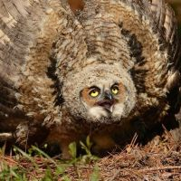Great Horned Owl Call – What Does a Great Horned Owl Sound Like?