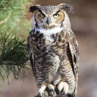 How Tall is a Great Horned Owl? Great Horned Owl Height