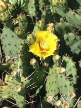 Eastern Prickly Pear Cactus in bloom