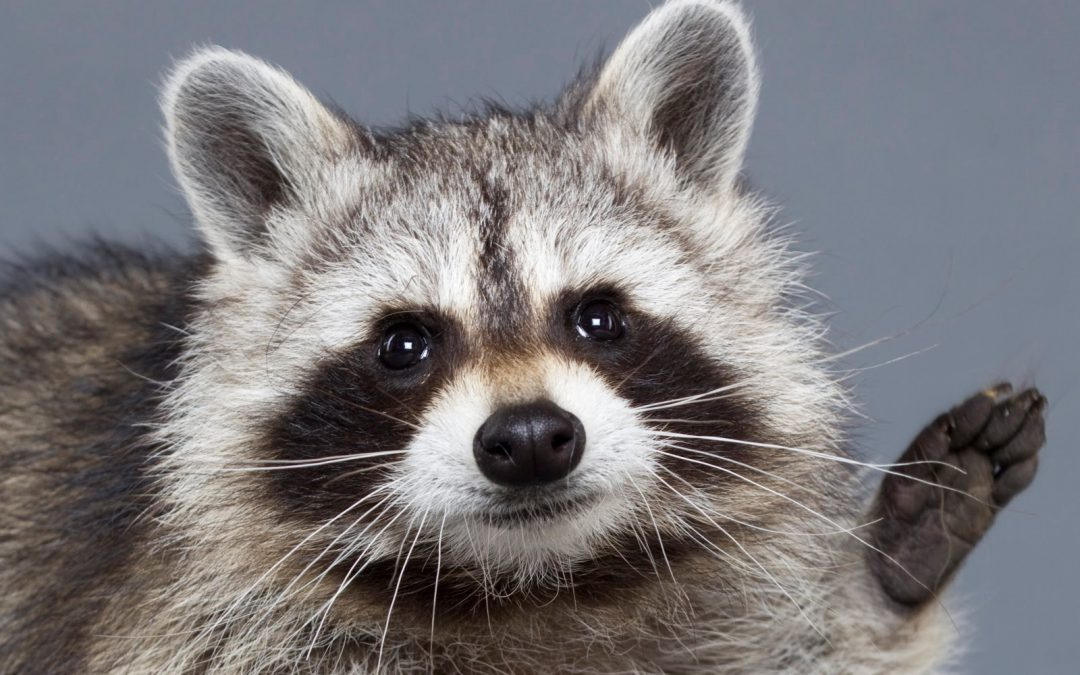 Rabid-Like Raccoons In West Virginia Are Actually Drunk
